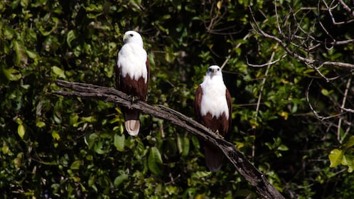 Pair of birds in a tree in Whitsunday