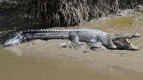 Crocodile on the sand with its mouth open in Whitsunday