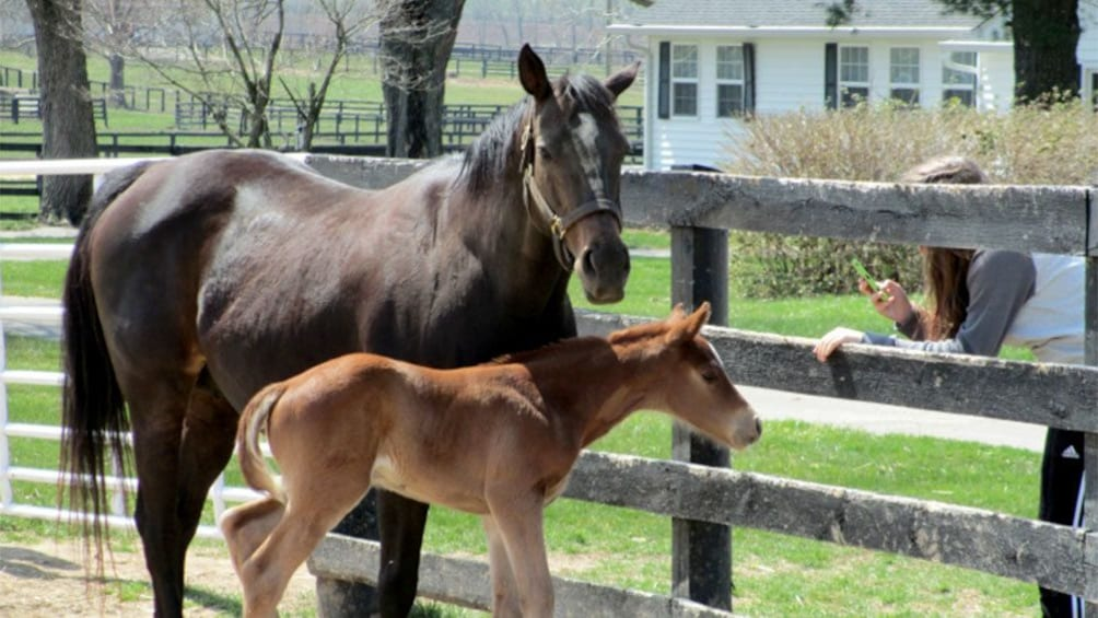 Show item 4 of 4. Horse and foal on a farm in Kentucky