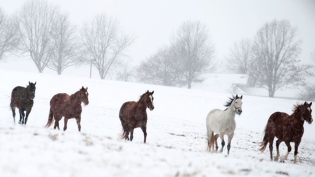 Show item 3 of 4. Team of horses running through a snowy field on a farm in Kentucky