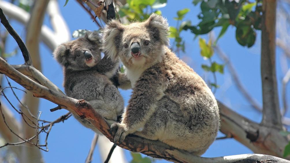 Koalas in trees in Blue Mountain Wildlife Park in Sydney