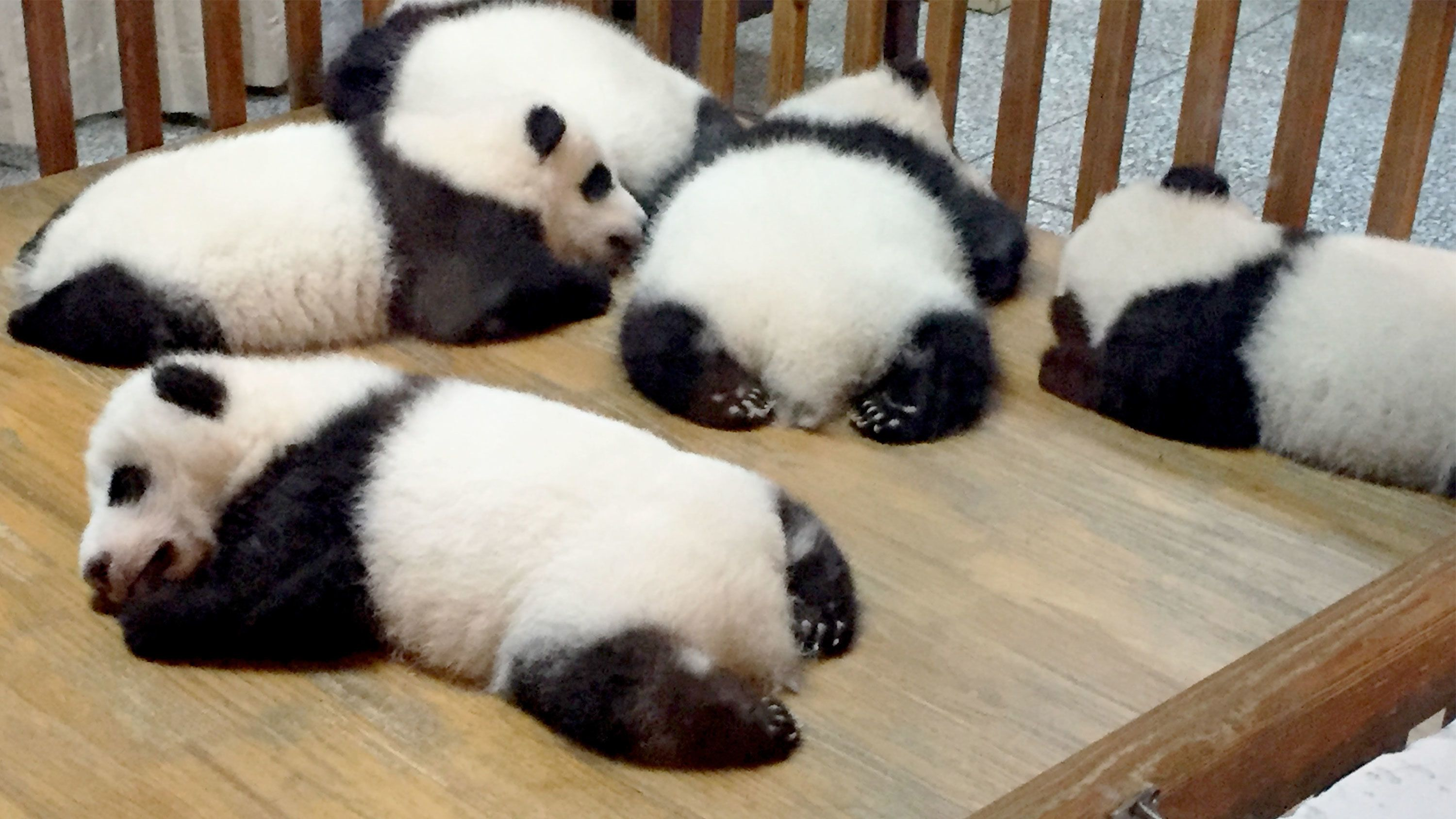 Private Giant Panda Volunteer Programme at Dujiangyan Base