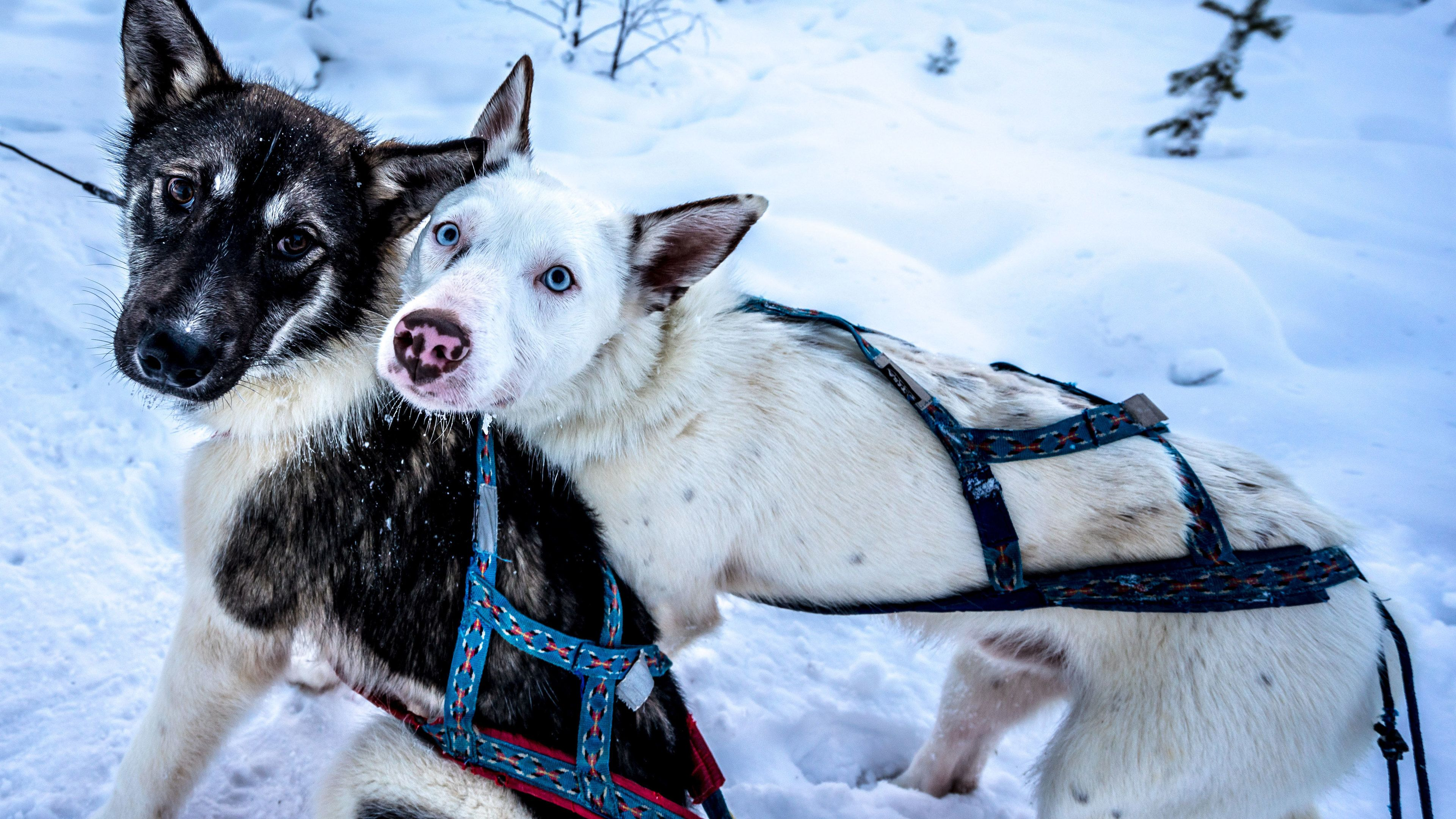 Adorable pair of young sled dogs in Stockholm