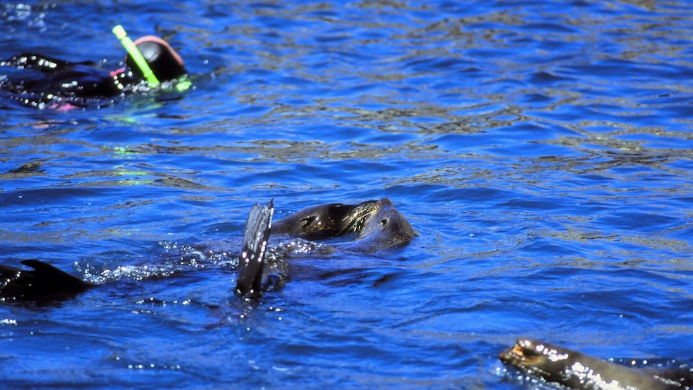 Show item 3 of 5. Seals and snorkelers swimming together in Taupo