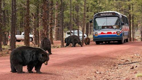 Group of bears walking near a tour bus at Bearizona Wildlife Park