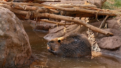 Beaver at Bearizona Wildlife Park