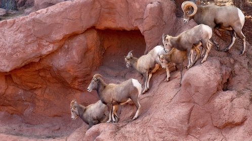 Mountain goats climbing on a red rock cliff at Bearizona Wildlife Park