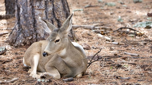 Young deer resting in the Grand Canyon