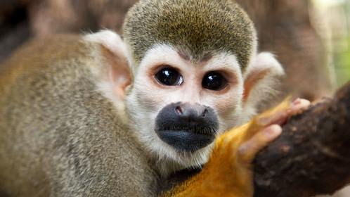 Close-up of a squirrel monkey