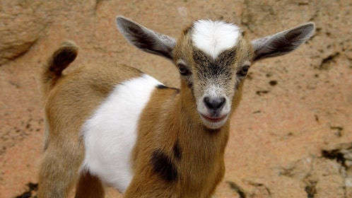 Baby goat at Rainforest Adventures Zoo