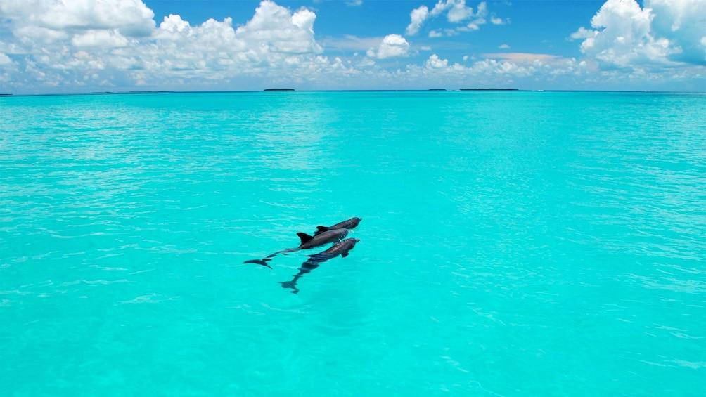 Show item 4 of 6. Dolphins in Florida Keys - Key West, FL