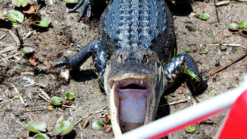 Alligator with mouth open on land in Everglades
