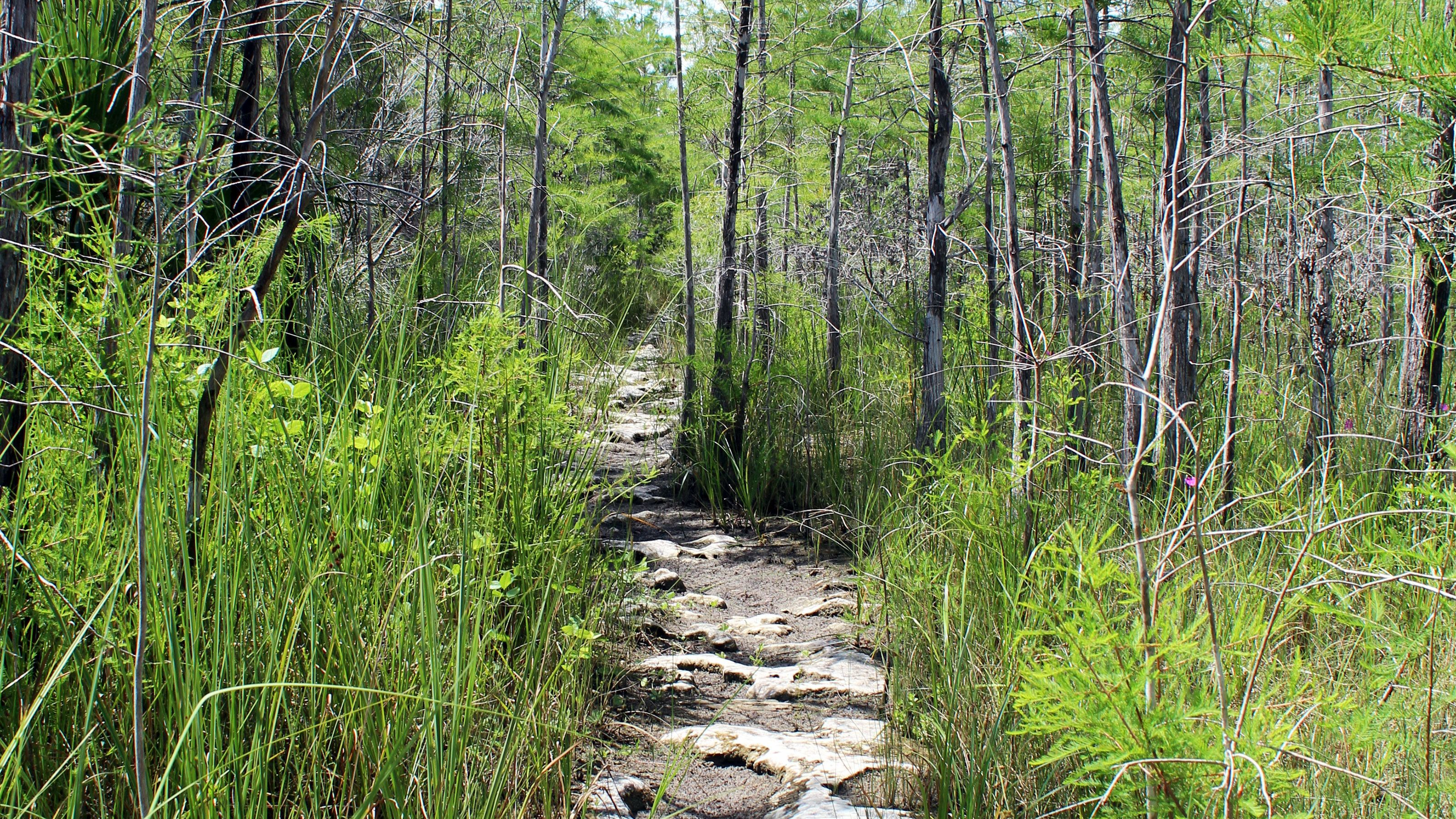 Foot pathway through trees in Everglades