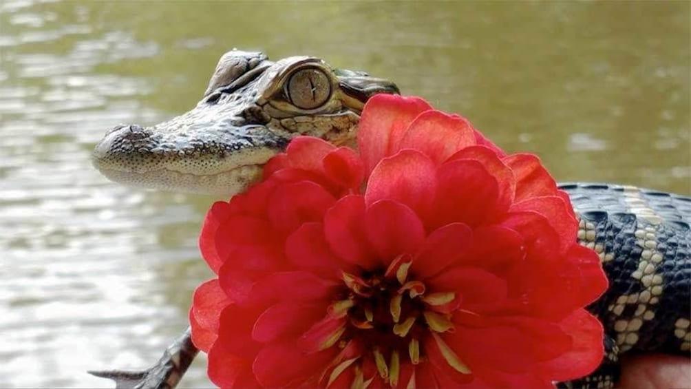Baby alligator in New Orleans