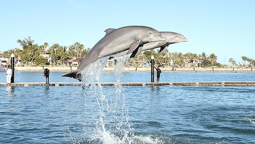 Dolphins jumps into air at Dolphin Discovery Mexico