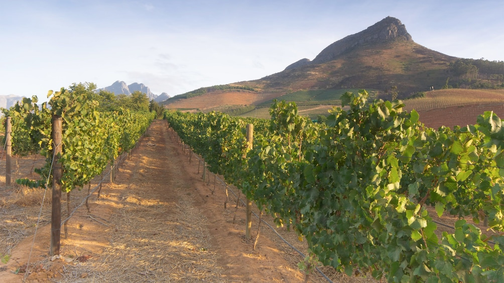 Apri foto 3 di 5. Landscape view of the vineyards on the winelands tour in South Africa