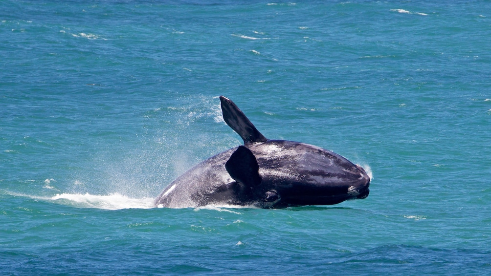 Show item 4 of 5. Southern right whale breaches water in Hermanus