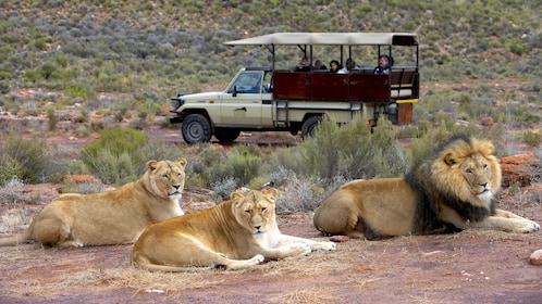 Lions next to a Safari truck