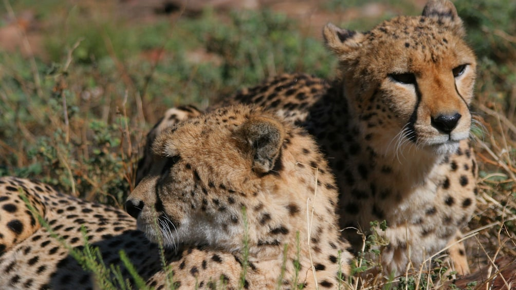 Apri foto 4 di 9. Two Cheetahs