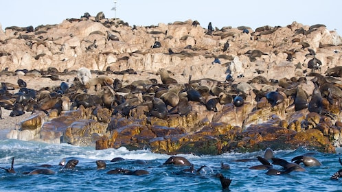 Large group of sea lions in Cape Town