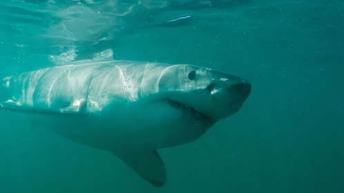 Great White shark in Cape Town