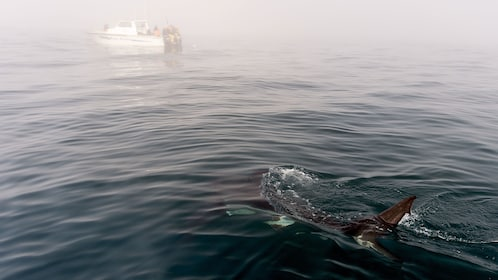 Shark near the surface with a boat in the distance in Cape Town