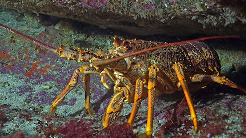Crayfish peering out from hiding hole in New Zealand