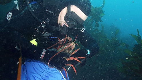 Diver placing crayfish into catch bag in New Zealand