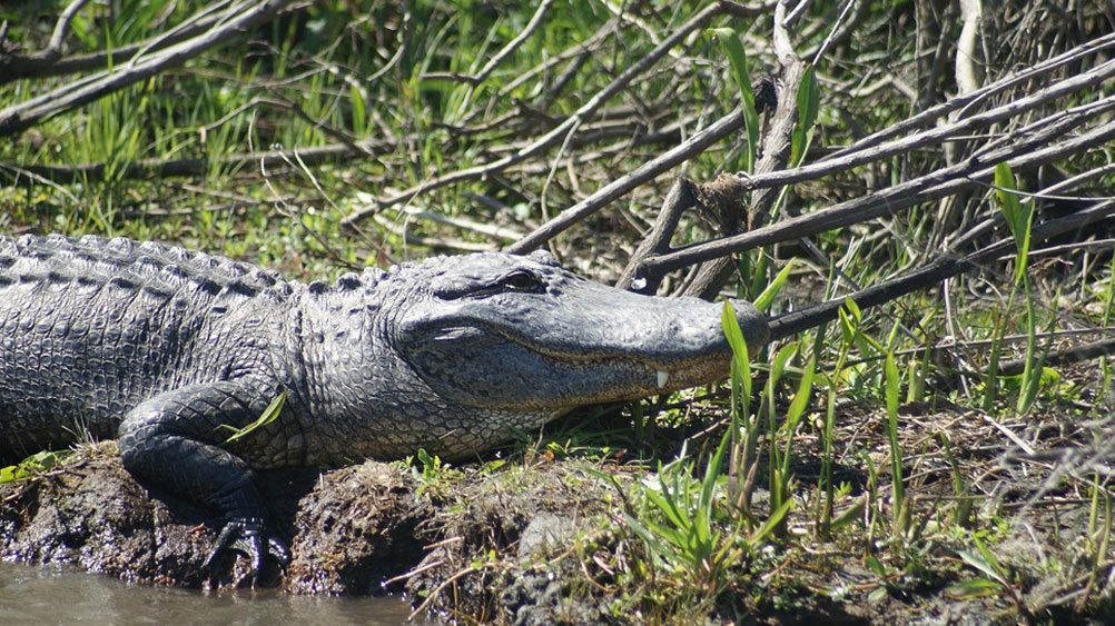 Alligator hauled out on creek side in New Orleans