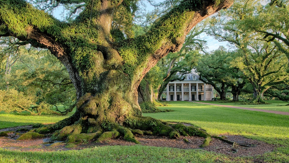 Show item 3 of 9. Large moss covered tree on estate in Oak Alley, New Orleans.