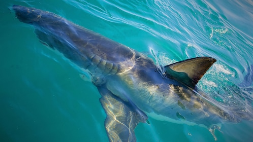 Shark at the surface of the water