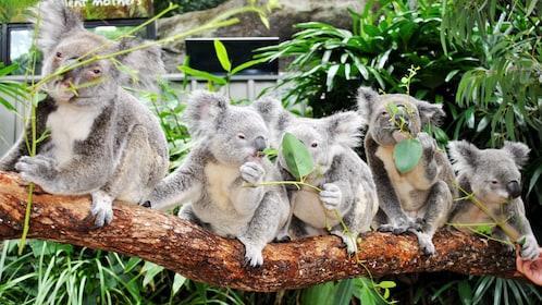 Row of koala bears on a tree branch at Wildlife Hamilton Island