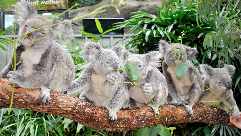 Cute koalas on the Hamilton Island Breakfast in Australia