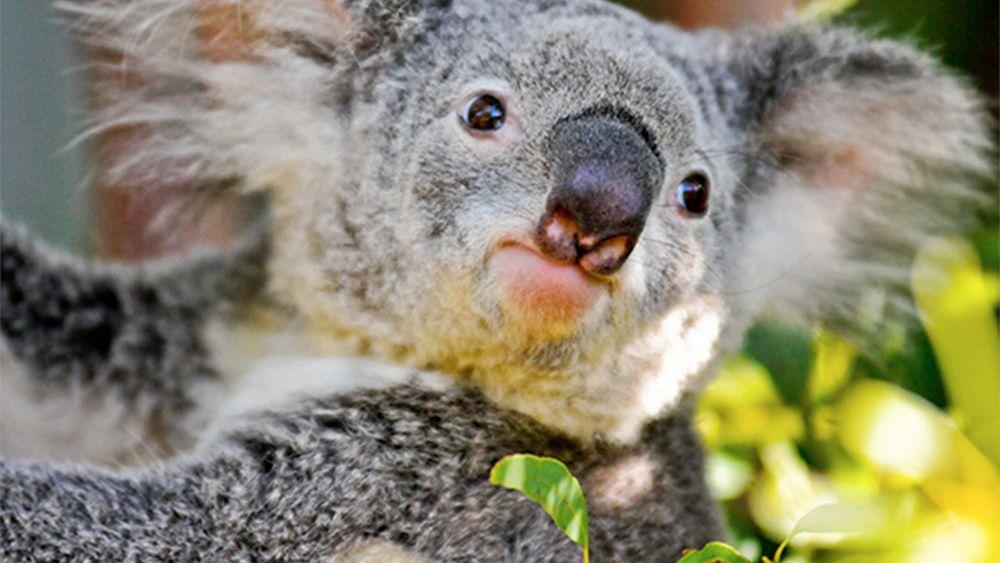 Koala on the Hamilton Island Breakfast in Australia