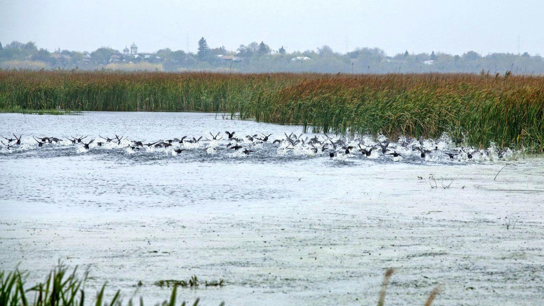 Flock of birds taking flight from the river delta in Romania
