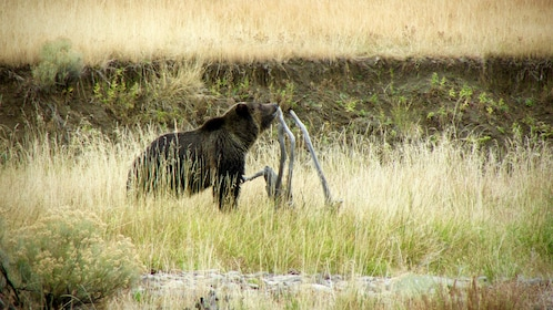 Bear seen on the Private Yellowstone Wildlife Tour