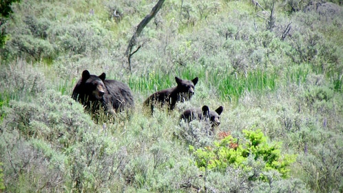 Bears on the Private Yellowstone Wildlife Tour