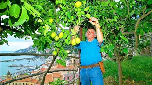 Man cutting lemons off a tree on a farm on the Amalfi Coast