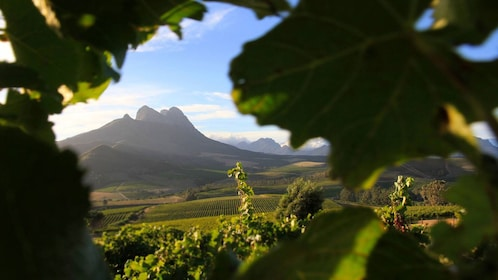 View of vineyards and mountains in Cape Town
