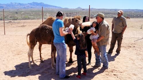 Group bottle feeding baby camels in the desert in Vegas