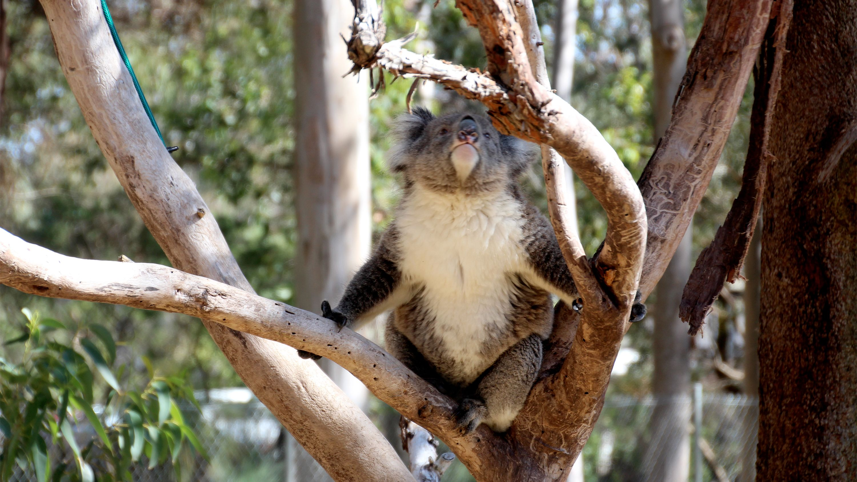 Koala on the Pinnacles & Sandboarding Tour in Perth