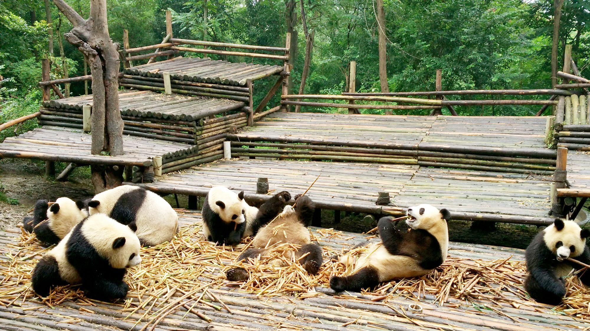 Full-Day Panda Hometown tour in Chengdu, China