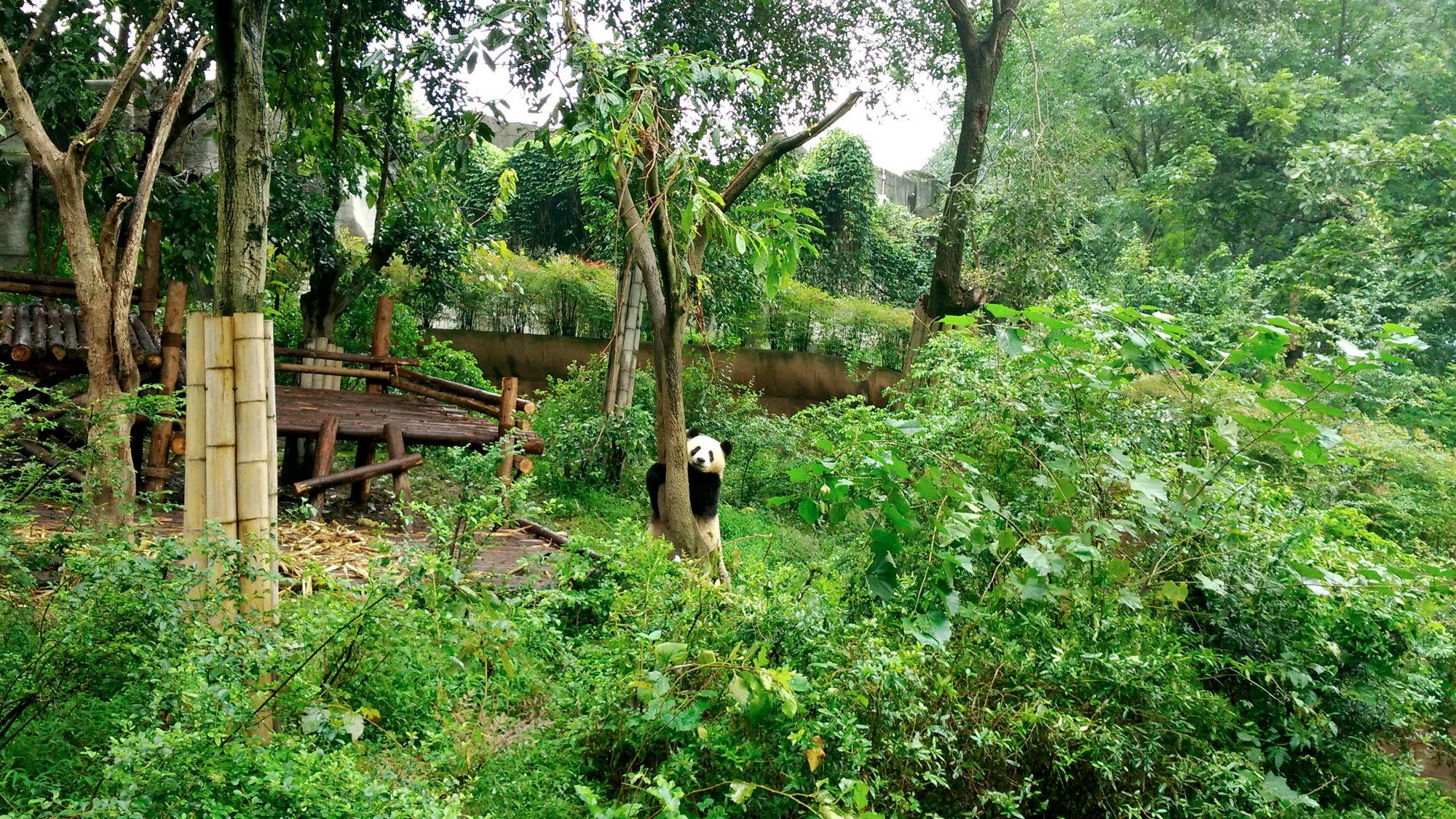 Cute panda climbing a tree on the Full-Day Panda Hometown tour in Chengdu, China