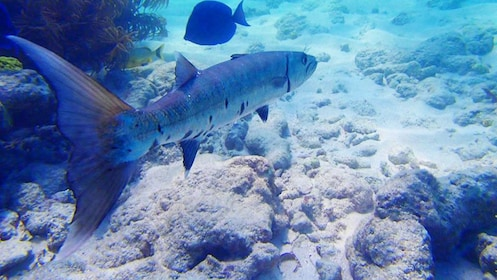 Small barracuda swimming in Key West