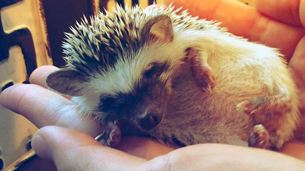 Show item 10 of 10. Hedgehog in a hand