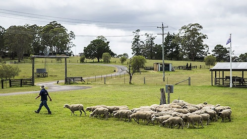 Sheep following rancher at ranch in Sydney