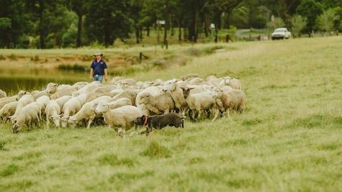 Dog herding sheep in Sydney