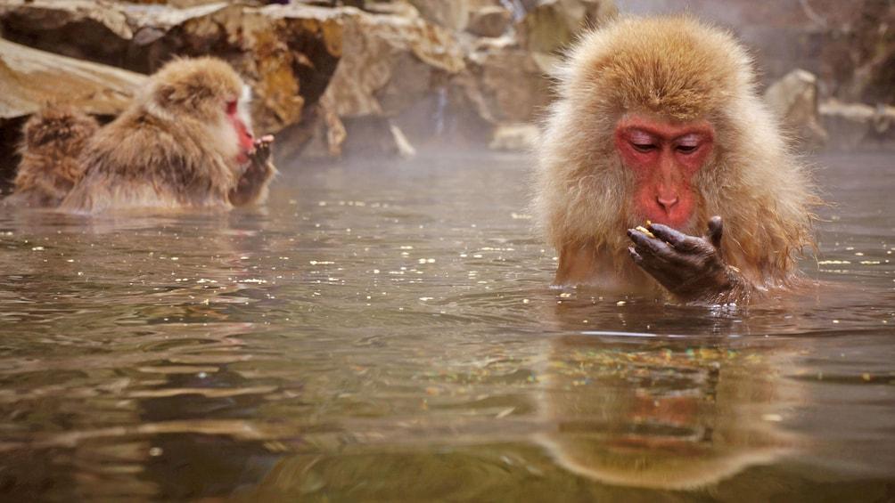 Snow monkeys soak in water in Tokyo