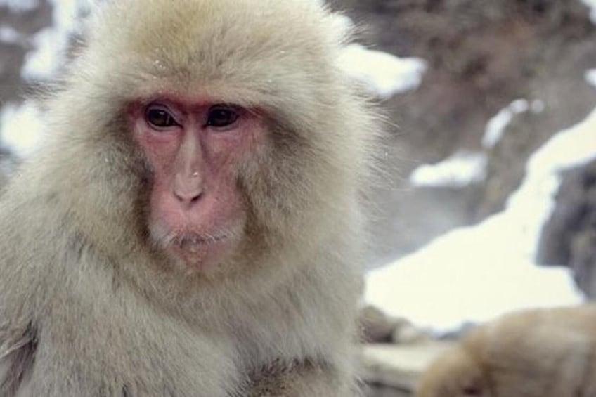 Show item 8 of 8. Private Guided Nagano Day Trip with Zenko-ji & Jigokudani Monkey Park