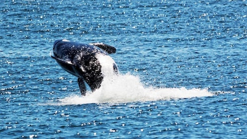 Whale jumping out of the water on the San Juan Whale Watching Tour & Meal in Washington